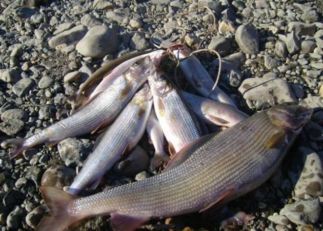 Рыба на камнях