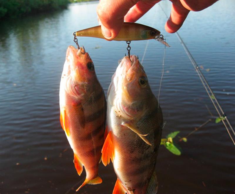 ловля окуня на річці