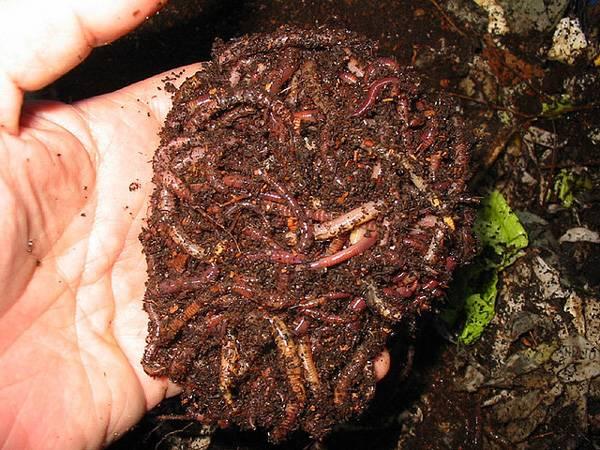 как содержать дождевых червей для рыбалки