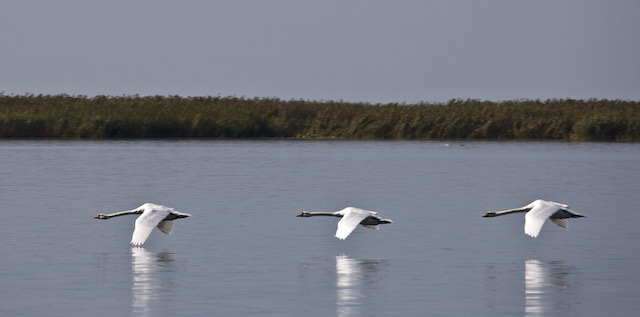 Три лебедя летят над водной гладью