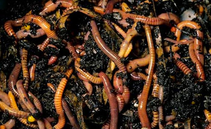 Навозный черви