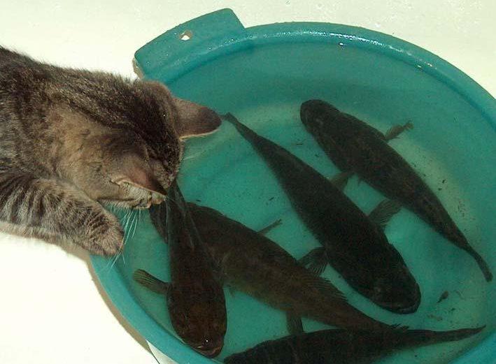 Рыбы в тазике и серый кот