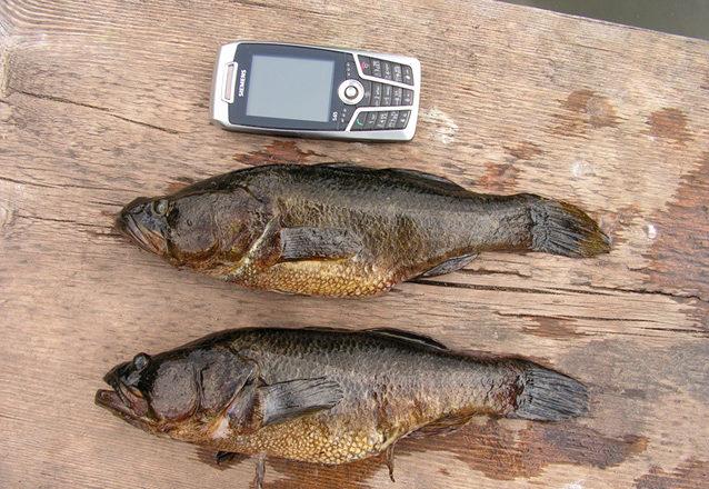 Две рыбы и телефон