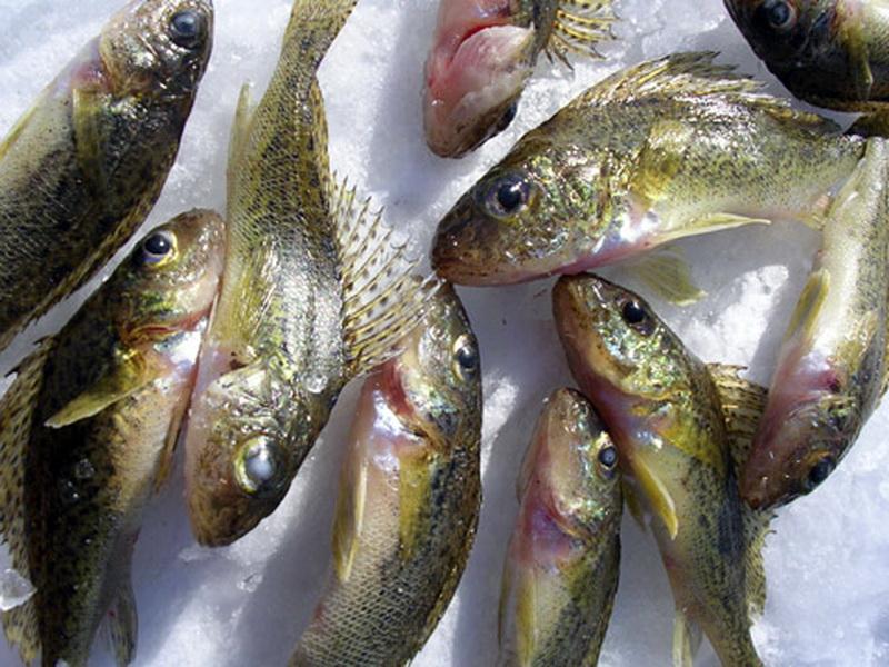 Много пойманной рыбки
