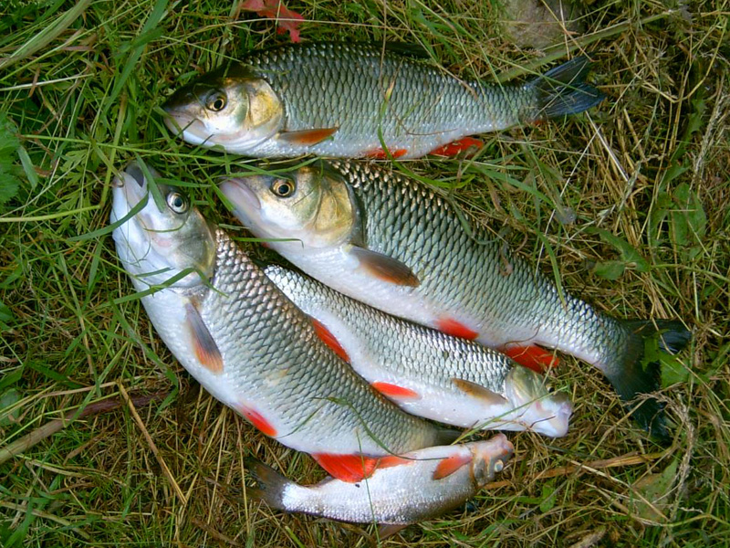 Пять рыб на траве