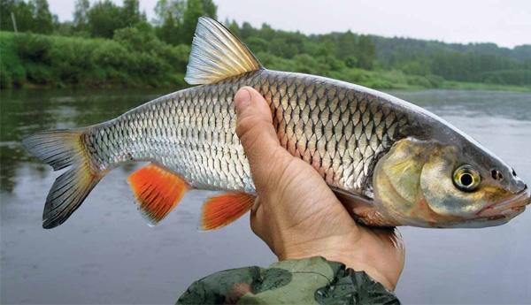 Пойманная рыба в руке