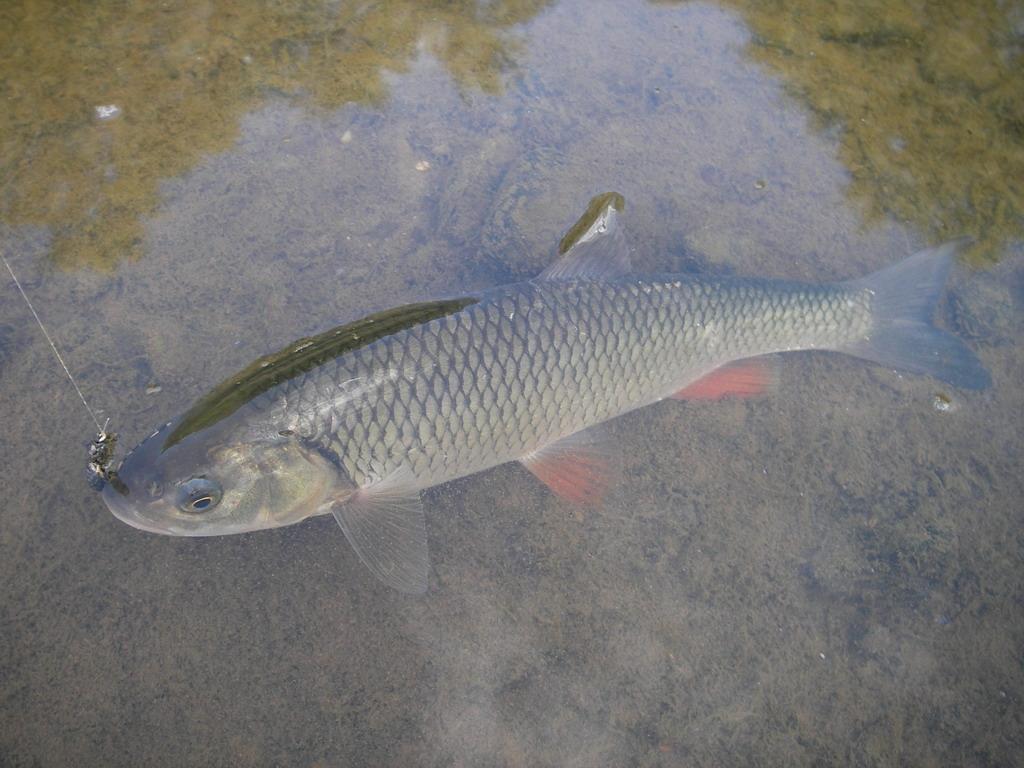 Голавль в воде
