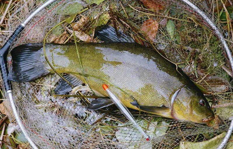 рыбака на линя