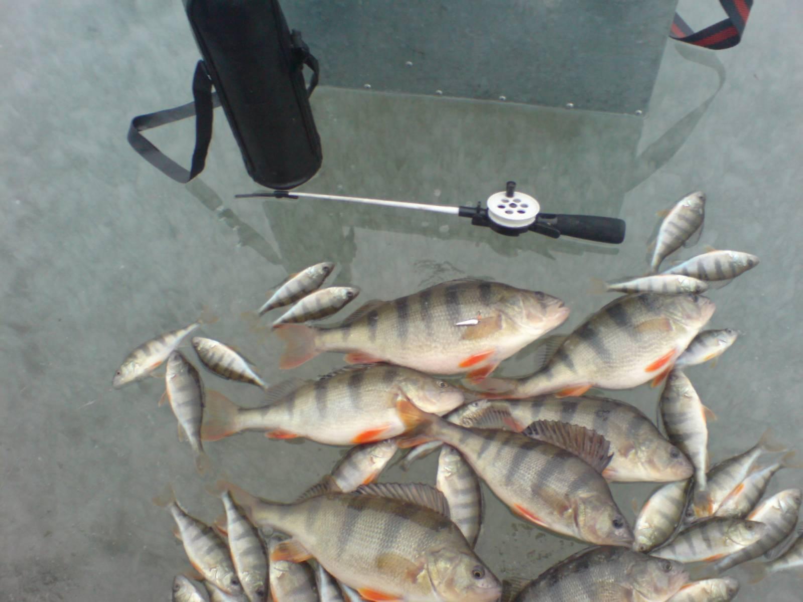 Кучка рыбы на льду