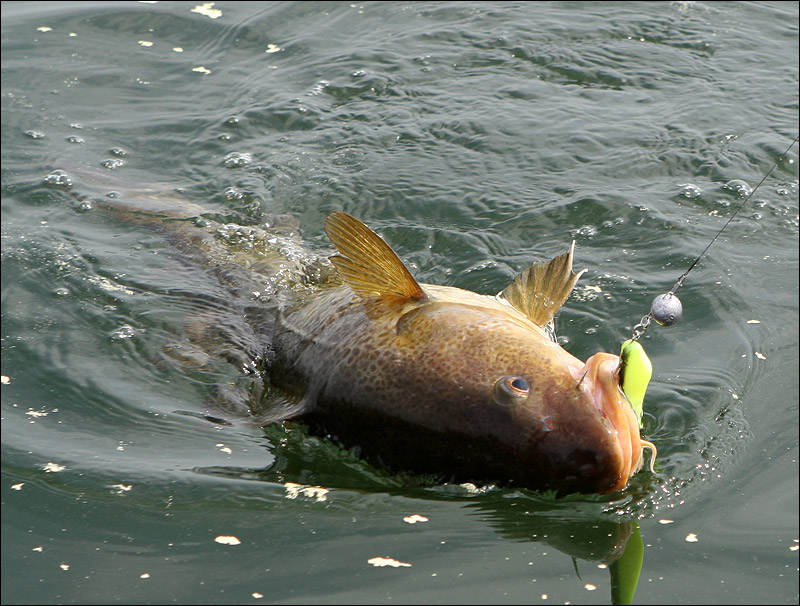 Пойманная рыба на крючке