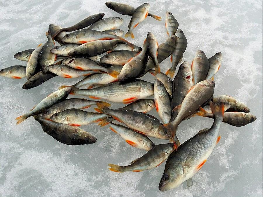 Много пойманных окуней лежат на льду