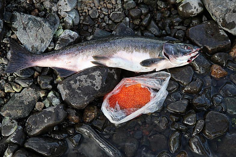 Икра лосося