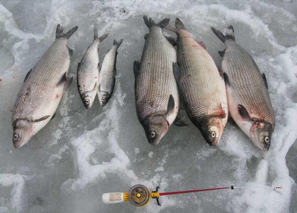 Пойманные сиги на льду
