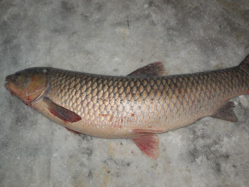 Крупная рыба на льду