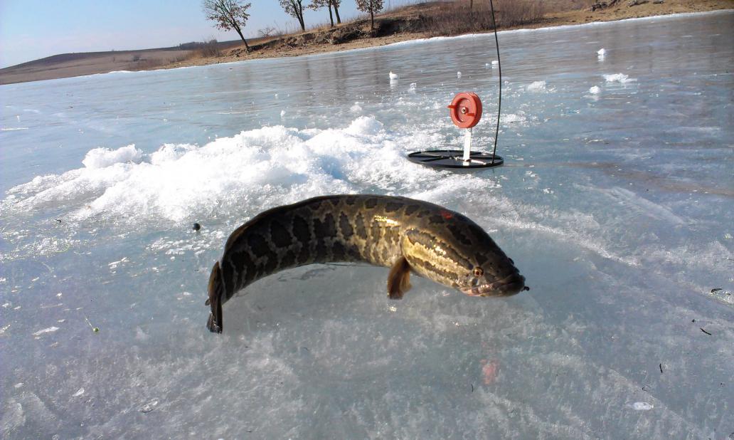 Змееголов на льду