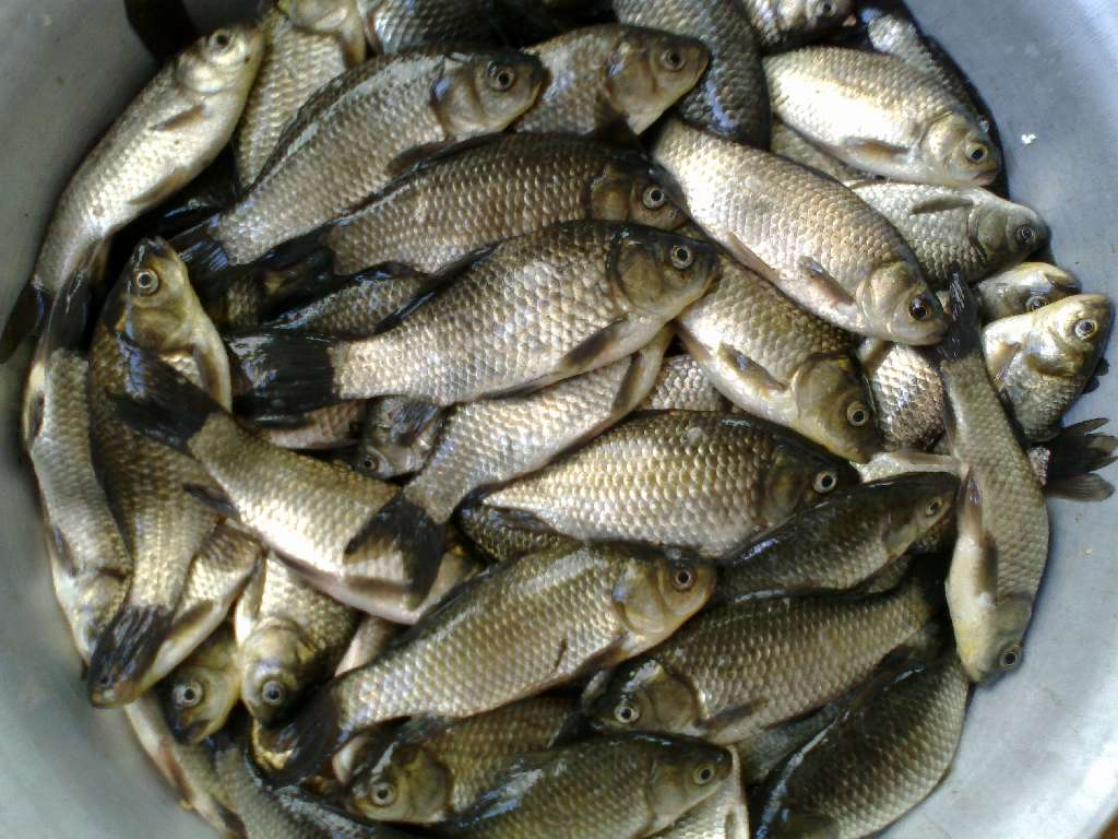 Полный таз рыбы