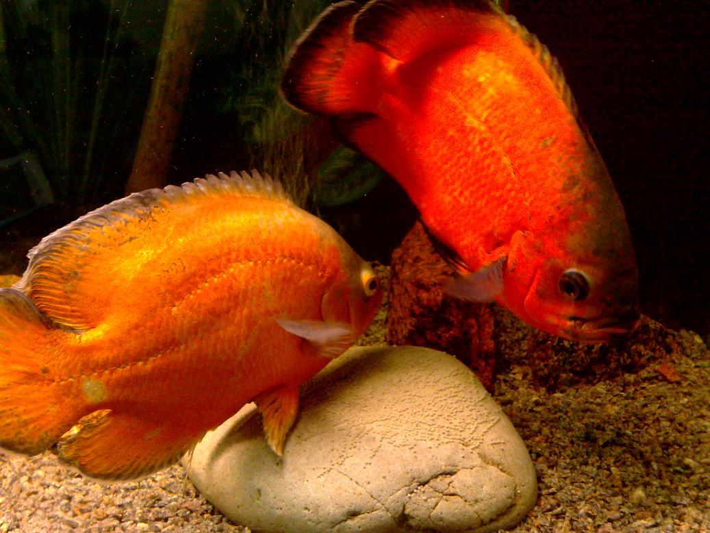 Две оранжевых рыбки