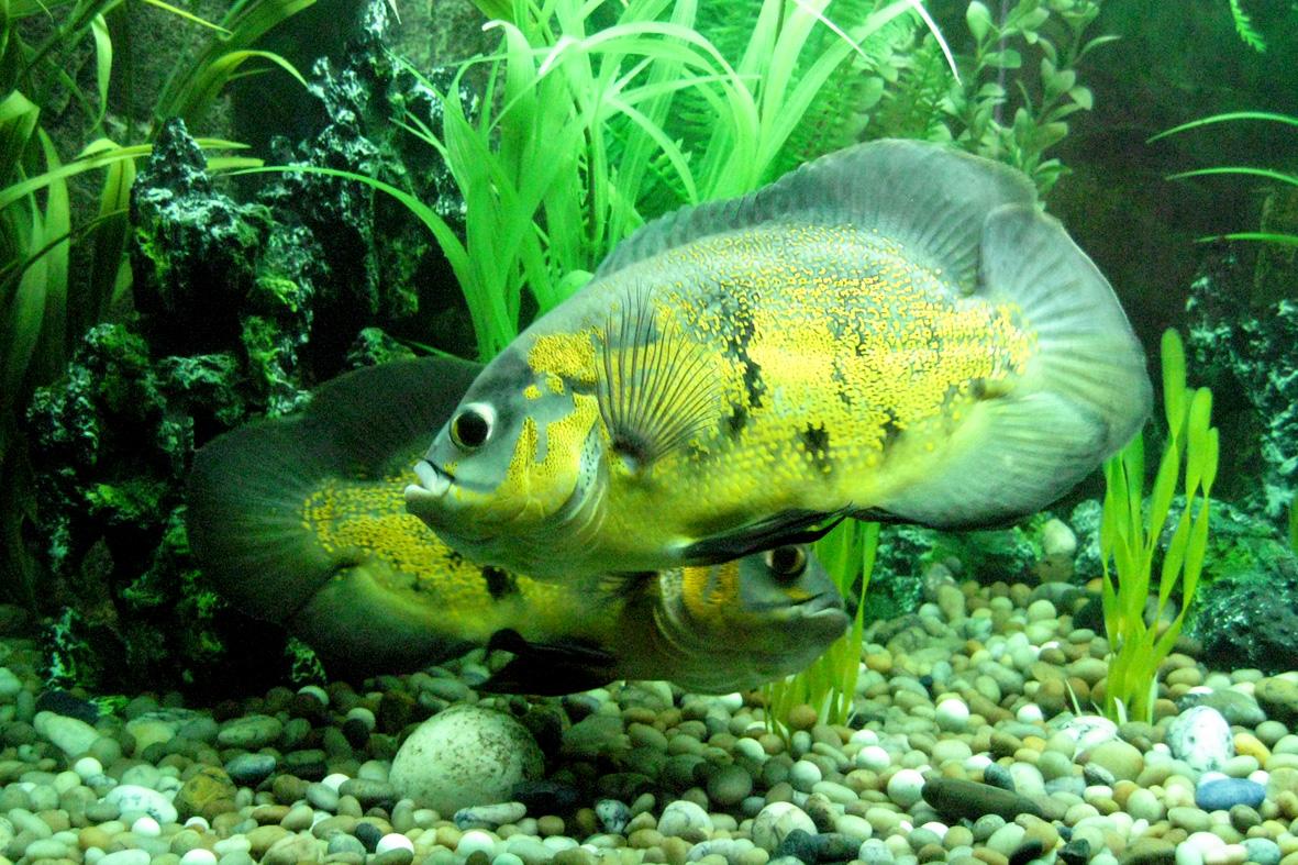Две рыбки на дне аквариума