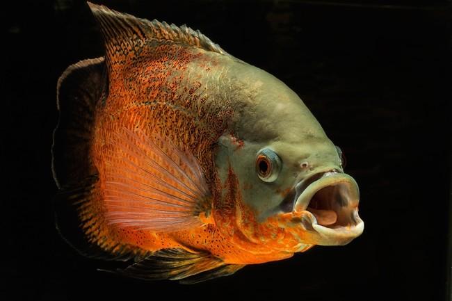 Рыба бык