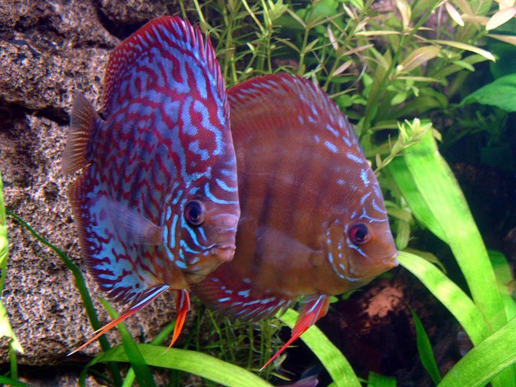 Две аквариумные рыбки