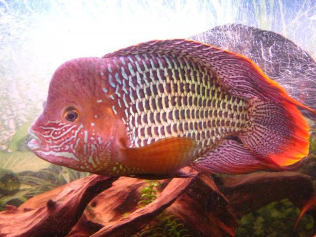 Рыбка с красным оттенком