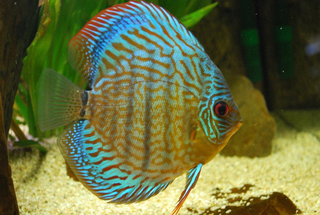 Дискус аквариумный