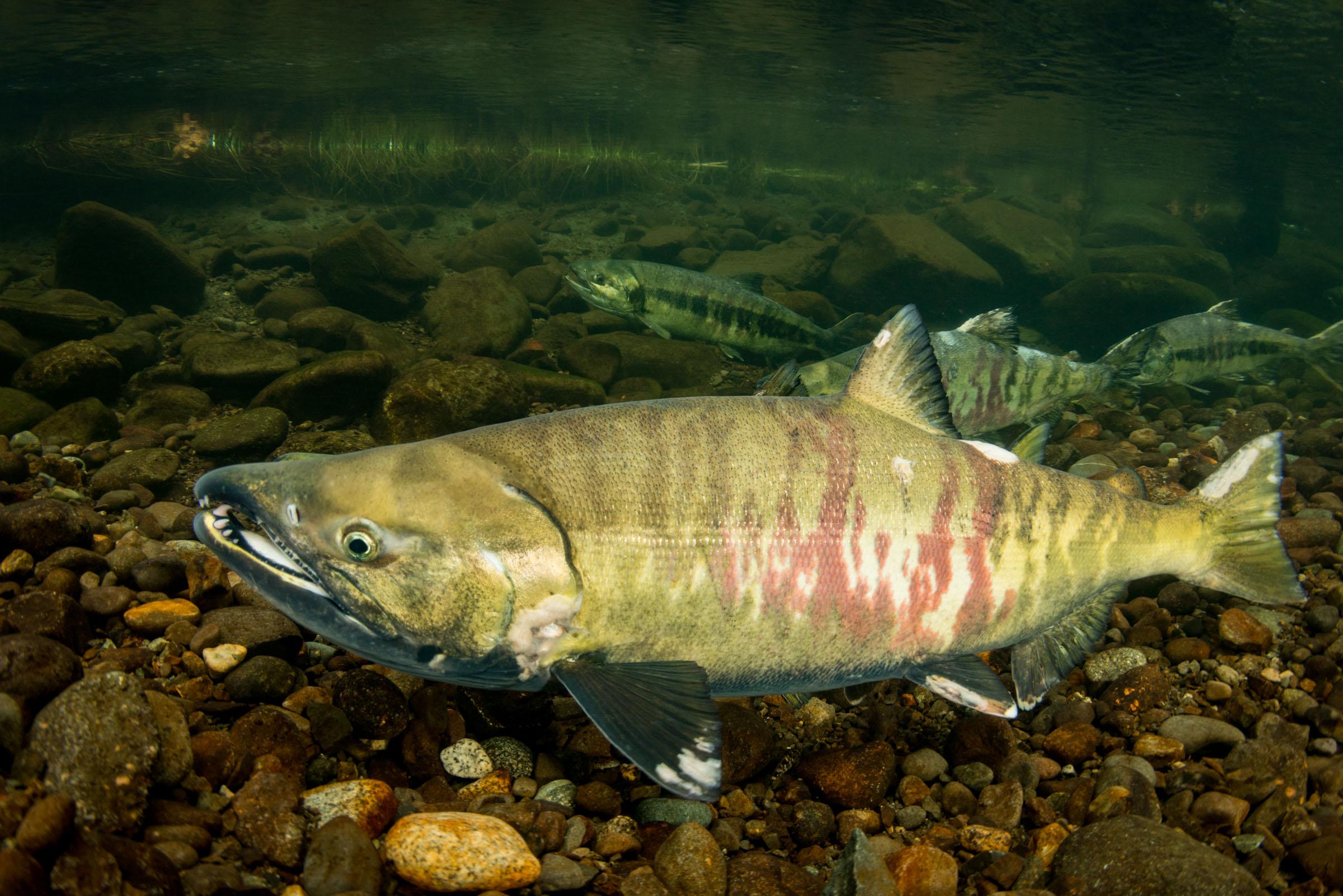 Рыба кета в реке