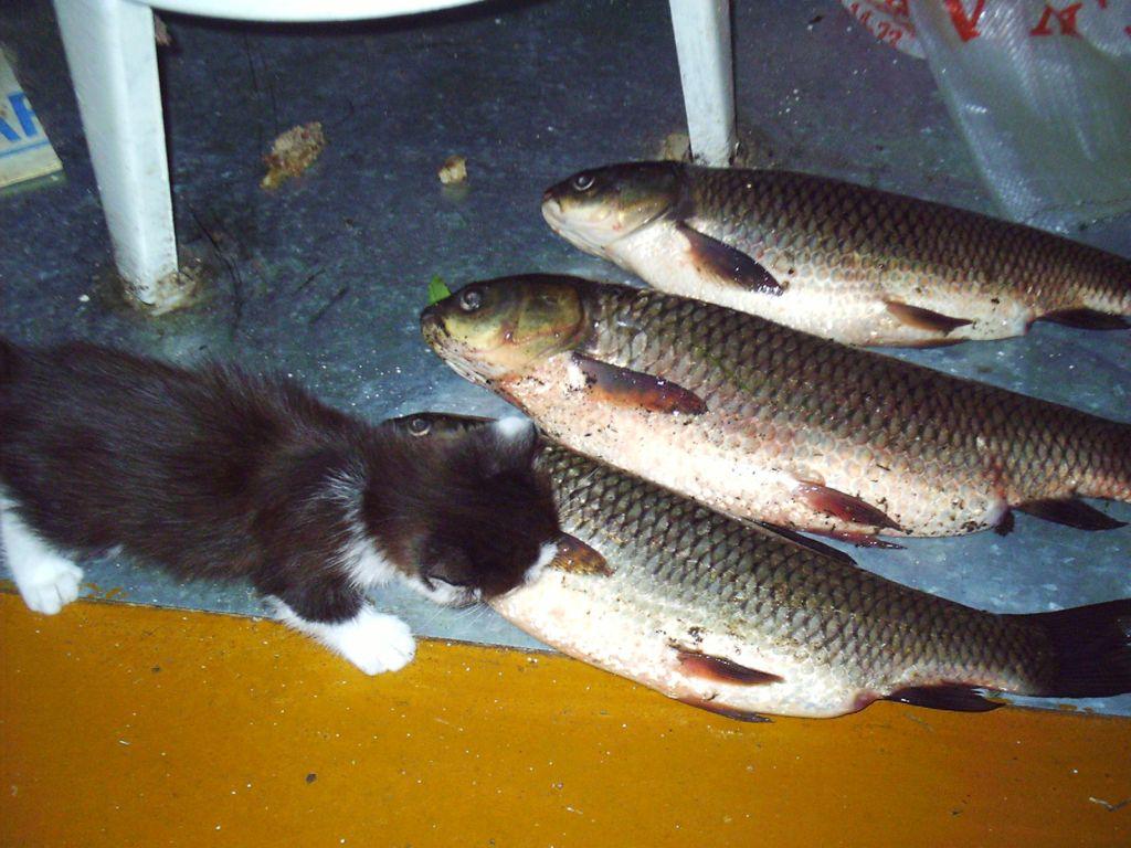 Три пойманных аурика и котенок
