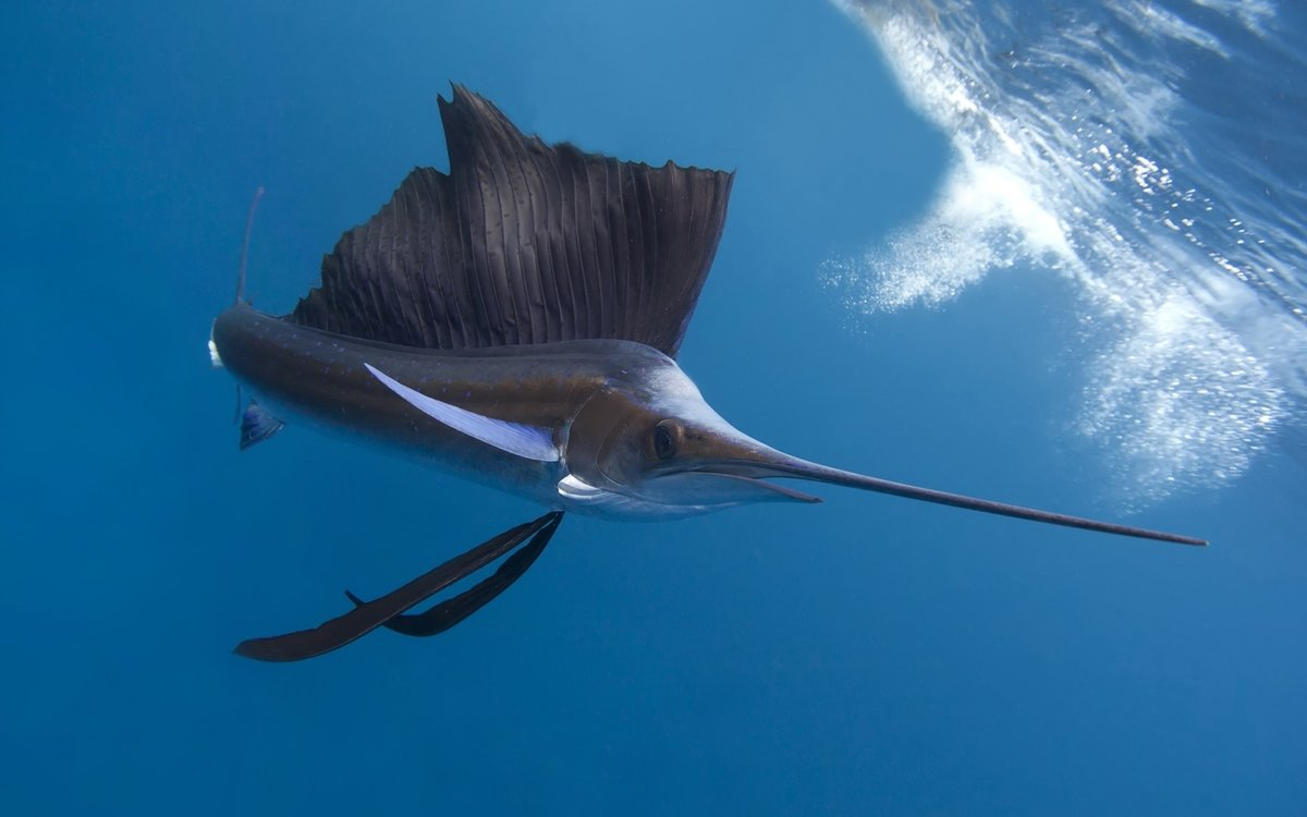 Рыба меч