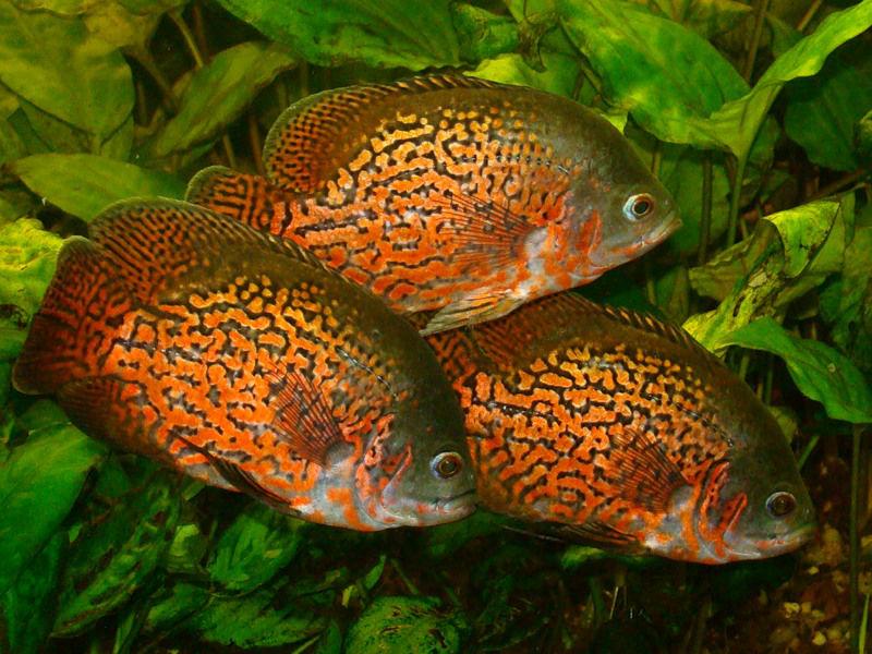 Три рыбки