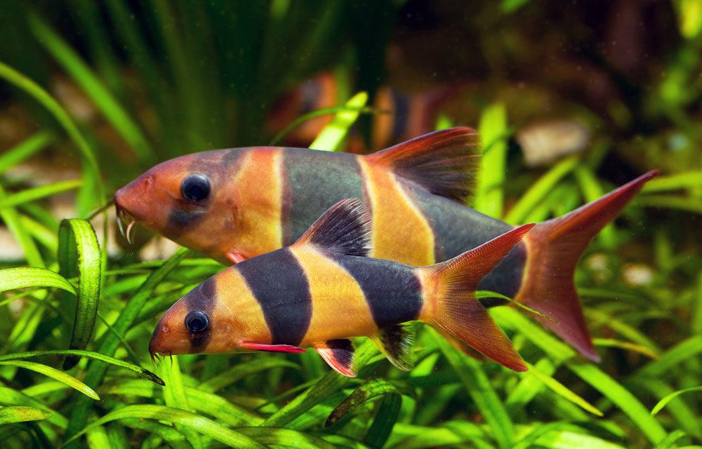 Две рыбки в зеленых водорослях
