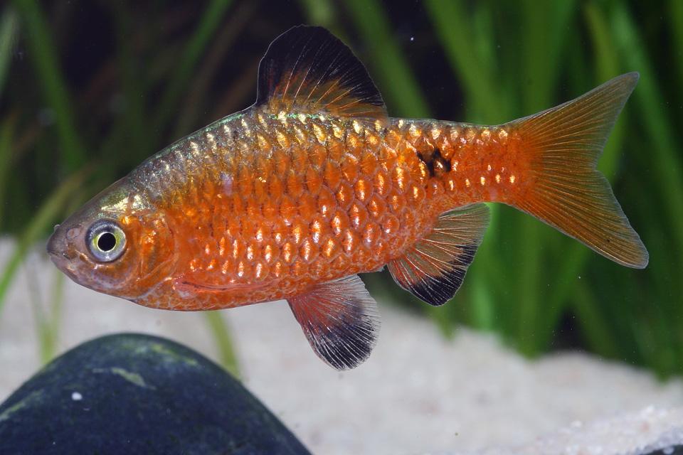 Рыбка золотого цвета