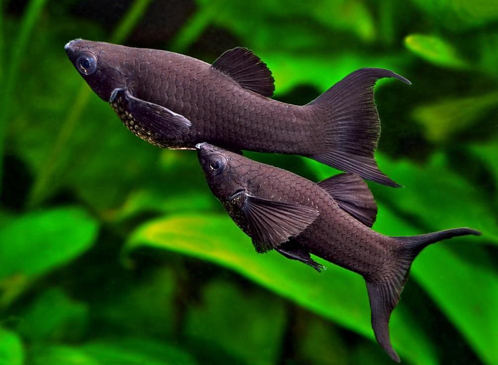 Две рыбки