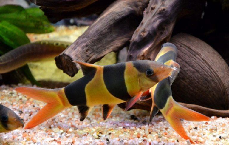 Стая аквариумных рыбок