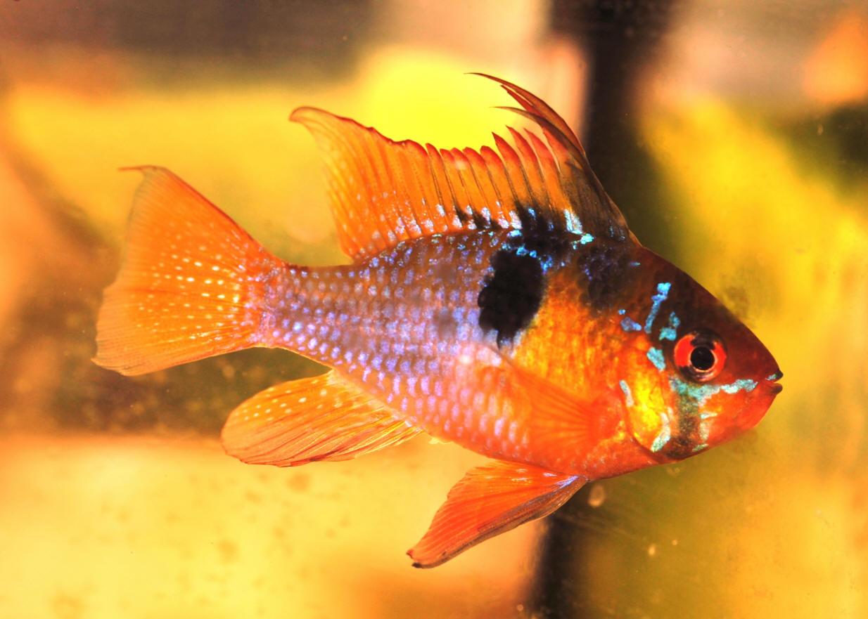 Рыбка красного оттенка