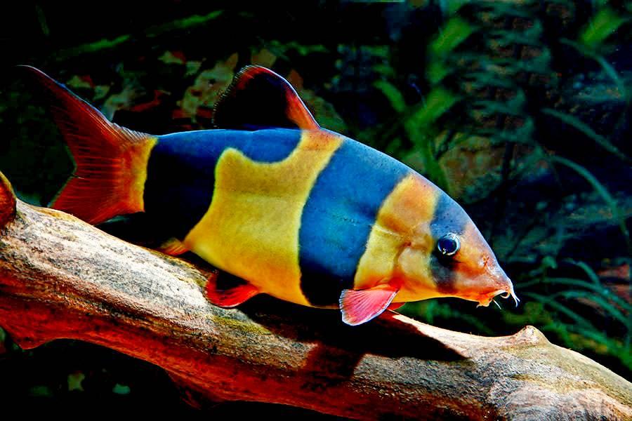 Рыбка с черно оранжевыми полосками