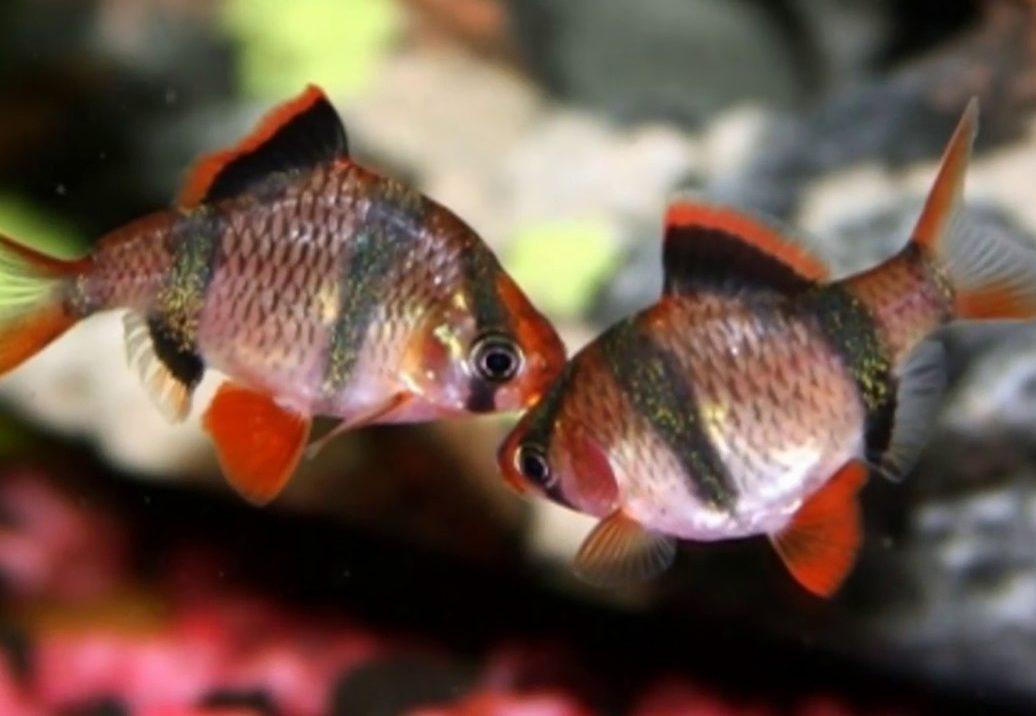 Две рыбки красавицы