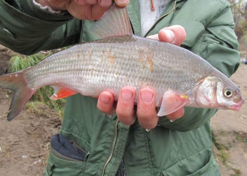 Крупная рыба в руках