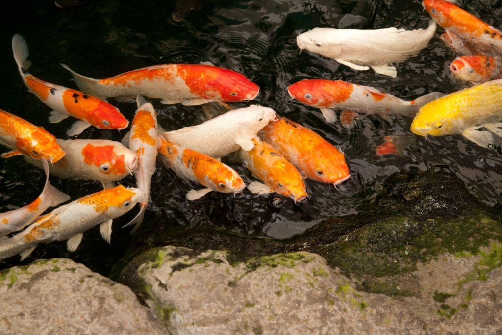 Кишащая рыба в пруду