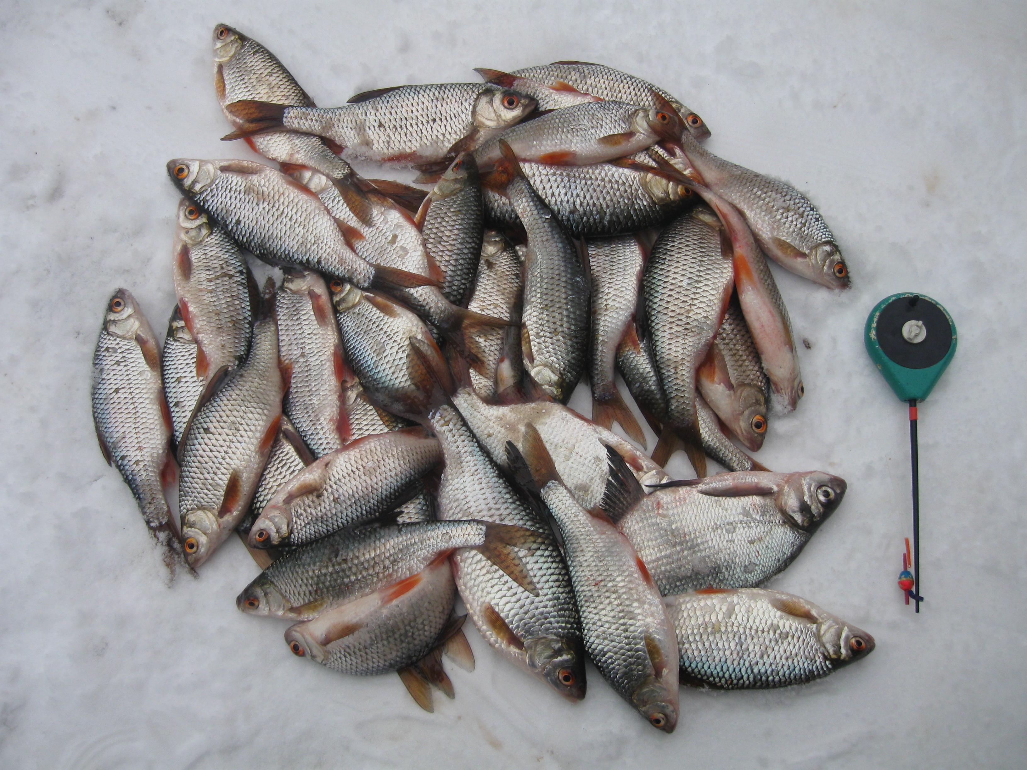 Целая куча пойманной рыбы