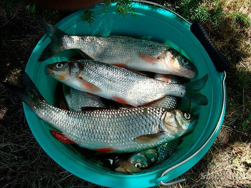 Пойманная рыба в ведре