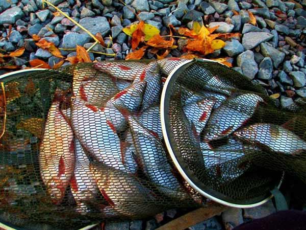 Полный садок рыбы